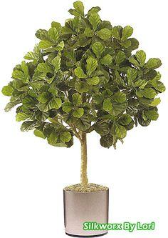 1000 Images About Fiddle Leaf Fig Trees On Pinterest