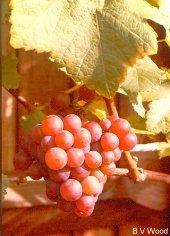 How to Propagate Grape Vines.