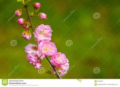 Pink Spring Blossom - Download From Over 59 Million High Quality Stock Photos, Images, Vectors. Sign up for FREE today. Image: 91680491