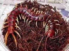 Resultado de imagem para formigas lagartixas