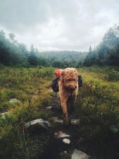Sweet Ginger backpacking in West Virginia. What a DARLING PUP!