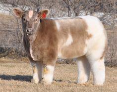 Vacas geneticamente alteradas viraram sensação na web por parecerem 'de pelúcia' (Foto: Divulgação/Lautner Farms)