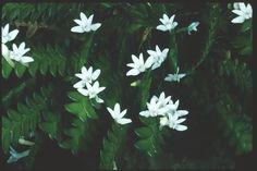 Angraecum Distichum1