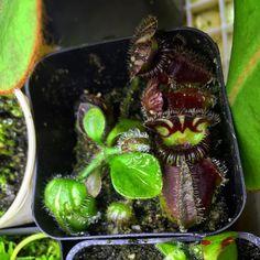 A lovely Brewer's Cephalotus. #californiacarnivores #nativeexotics #neps #nepenthes #pitcherplant #pitcherplants #monkeycup #monkeycups #plerd #plant #plants #greenhouse #nature #nerd #tropical #terrarium #instagood #instagram #instalike #instadaily #picoftheday #carnivorousplant #carnivorousplants #carnivoroustagram #carnivorousplantswag #moss #mosses #cephalotus #cephalotus #albanypitcherplant by joes.carnivores