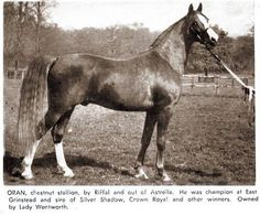 "notanarabianhorse: "" ORAN 1940 Chestnut Stallion (Riffal x Astrella) All Breed Pedigree ""(If you go back far enough in his pedigree, he traces back to all-asil great grandparents, whose pedigrees can. Horse Coat Colors, Beautiful Arabian Horses, Arabian Stallions, Most Beautiful Animals, Horse World, Horse Farms, Horse Pictures, Animals Of The World, Horse Breeds"