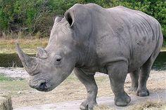 rhino - Google Search