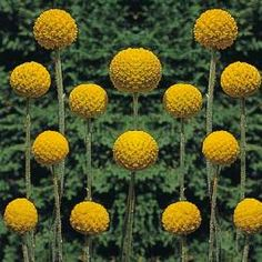 14 best yellow blue and white images on pinterest beautiful craspedia globosa drumstick yellow flowerscut mightylinksfo