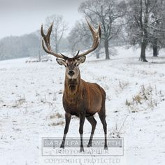 Red stag in snow 001