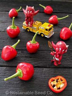 What would it be like to kiss the Devil?   Well take a bite of this pepper and find out!   Organic Satan's Kiss Pepper Seed