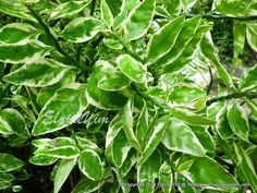 Euphorbia tithymaloides 'Variegatus' - Zig-Zag Plant