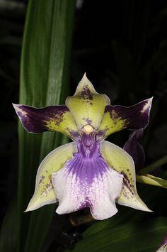 Zygopetalum Hybrids | Zygopetalum hybrid