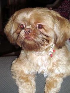Shih Tzu, Choo Choo from Lhasa Happy Homes. I am in love with him. He is available for adoption.