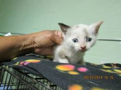 ORIENT has been re4scued by CAT ADOPTION TEAM, WILMINGTON! Shelters, Adoption, Cats, Animals, Foster Care Adoption, Gatos, Animales, Animaux, Animal Shelters