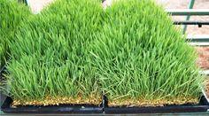 Guia: Producción Intensiva de Forraje Verde : .: Hydro Environment .: Hydroponics, Environment, Mexico, Herbs, Pest Control, Irrigation, Environmental Psychology, Herb, Spice