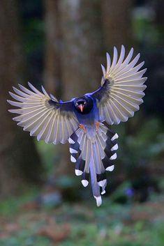 Taiwan Blue Magpie (Urocissa caerulea) by Su Min Du.