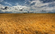 Eternal golden wheat field