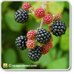 Seven Useful Shade Tolerant Groundcovers For Tough Spots Awesome Site That Has Information On Growing Veggies, Plants, Flowers, Herbs, And Fruits Fruit Garden, Edible Garden, Vegetable Garden, Garden Plants, Green Garden, Garden Spaces, Growing Blackberries, Raspberries, Strawberries