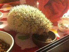 ~Twiggy Prickles eating his mealies in his Viv^