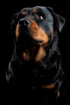 Before the bankers came and took charge of our money, the Rottweiler, a German dog breed, had already tasted what it is like to be the protector of money. Rottweiler Love, Rottweiler Puppies, Rottweiler Training, West Highland Terrier, Australian Shepherds, Shelter Dogs, Animal Shelter, Animal Rescue, Doberman Pinscher