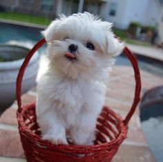 Monte is not afraid to be silly. Community Post: Monte The Maltese Is The Cutest Puppy You'll Ever Meet Aussie Puppies, Cute Puppies, Cute Dogs, Dogs And Puppies, Doggies, Maltese Dogs, Chihuahua, Puppy Palace, Malteser