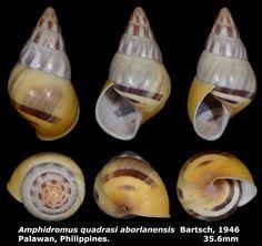Dr. Lee's Gallery Museum: Amphidromus quadrasi aborlanensis 35.6mm