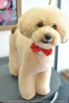 30 Awesome Dog Grooming Styles Love this Dog grooming styles toy poodle haircut styles - Haircut Style Dog Grooming Styles, Dog Grooming Tips, Poodle Grooming, Creative Grooming, Dog Grooming Salons, Yorshire Terrier, Poodle Cuts, Dog Haircuts, Japanese Dogs