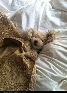 Cutest toy Poodle enjoying a little snuggle time Awwwww what a little sweetie! For more cute dogs and puppies #toy dog #searchub