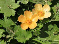 Flora Bonaerense: Nativas Malva del campo (Modiolastrum malvifolium)