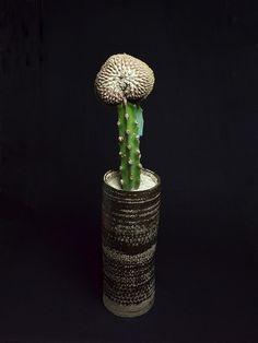 快竜丸綴化 Gymnocalycium bodenbenderianum f. crist