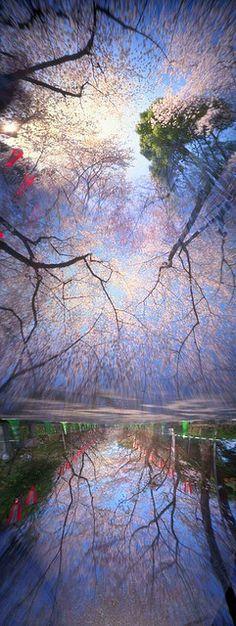 ~~Ueno Sakura Hexomniscope View by Cory.Lum ~ Cherry tree in full bloom, Ueno Park, Tokyo~~