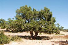 oltre il mediterraneo -    ph mariannasiza  flickr.com/mariannasiza  Argania spinosa, un'albero della famigla della acacie, endemico di questa zona del Marocco e di una del ...