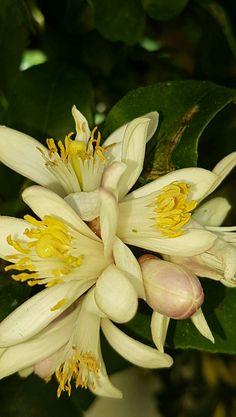 Flor de limoeiro