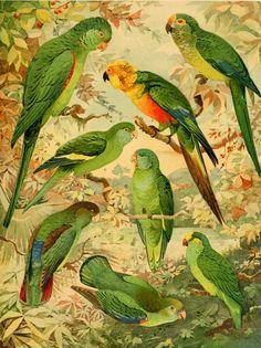 Olímpia Reis Resque: Viajantes: Uma bela tarde de junho! Texto de Robert Avé-Lallemant (1812-1884) sobre as aves que encontrou em sua viagem ao rio Amazonas em 1859. Ilustração de  Ernst Lohse (1873-1930). No Blog!