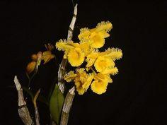 Dendrobium harveyanum