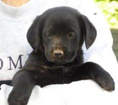 Apple is an adoptable Labrador Retriever Dog in Niagara Falls, NY. Apple is one in a litter of This litter is 8 wks old and each puppy weighs between approx lbs. The puppies are f. Labrador Retriever Dog, Niagara Falls, Highlights, Adoption, Puppies, Apple, Dogs, Animals, Foster Care Adoption