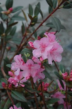Click to view full-size photo of Aglo Rhododendron (Rhododendron 'Aglo') at Sargent's Gardens