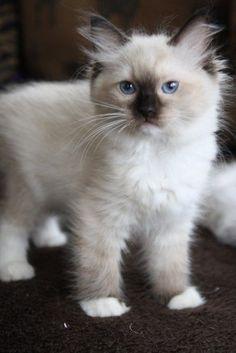 Sepia Female Ragdoll Kitten Mink