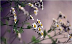 Daisy Flowers HD Wallpaper | daisy flowers hd wallpapers