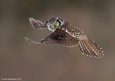"Owl in flight. (""Northern Hawk Owl"" Photography by Axel Hildebrandt) Beautiful Owl, Animals Beautiful, Beautiful Pictures, Owl Pictures, Wise Owl, Owl Bird, Tier Fotos, Pretty Birds, Birds Of Prey"