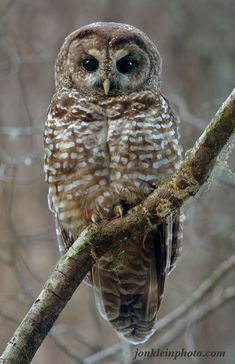 The Spotted owl (Strix occidentalis) is one of 4 species of owls with dark eyes. Seen August 2017 hiking near Davis Lake with Annika Beautiful Birds, Animals Beautiful, Cute Animals, Owl Species, Spotted Owl, Barred Owl, Creature Feature, Cute Owl, Woodland Creatures