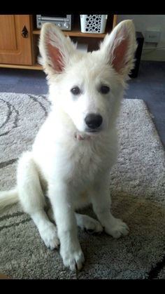Belle, chiot Berger blanc suisse puppy