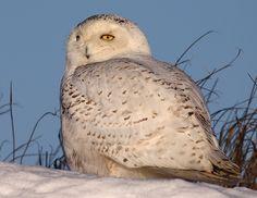 Snowy Owl Salisbury sun bather
