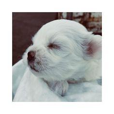 [ My new daughter ] #corgi #corgination #corgilove #corgistation #corgilife #corgisofinstagram #corgicommunity #corgipuppy #corgiaddict #puppy #puppylove #dog #corgisgonnacorg #corgis #corgiears #corgistyle #corgirules #corgipower #corgidogs #corgioftheday #welshcorgi #dogs_of_instagram #instagramcorgis #dogsofinstagram #corgilovers #hamlin #hamlinthefrenchie #frenchbulldog #recovery #goodvibes