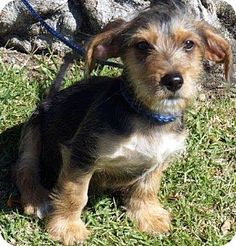 Buena Park, CA - Yorkie, Yorkshire Terrier/Dachshund Mix. Meet Branson, a puppy for adoption. http://www.adoptapet.com/pet/13271590-buena-park-california-yorkie-yorkshire-terrier-mix
