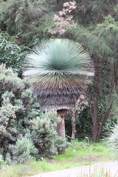 In subtropical climates, this astounding perennial—no, it's neither a grass nor a tree; it's a relative of yucca—grows into an astonishing garden sculpture. This perfect specimen is at the San Francisco Botanical Garden. Mexican grass tree is exciting as well as happy when grown in a container. Bring it into warmth and bright light for the Winter. Mexican Grass Tree / Dasylirion quadrangulatum