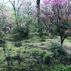 What a mystical place.  #kyoto #arashiyama #tourguide #travel #rain #garden #landscape #beauty #purple #cherryblossom