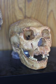 Homo Heidelbergensis, also known as Atapuerca 5. This little feller is approximately 400,000 years old, and is the last common ancestor to both Neanderthal, and modern humans.
