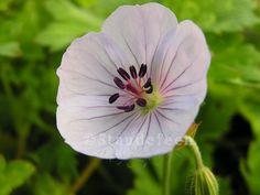 Geranium 'Lilac Ice'. Måned: Juni-oktober Højde: 35-40 cm Placering: Halvskygge-sol   En ny wallichianum hybrid, som vi fik hjem i 2012. Jeg ventede mig meget af denne, og jeg blev bestemt ikke skuffet. Den har den smukkeste sartlilla farve, og den blomstrer med store blomster fra juni, til frosten sætter ind. Samme type som den kendte 'Rozanne'. Min nye favorit geranium, tror jeg ;-) Har hørt, at den kan skifte til blå som sit ophav (Rozanne)