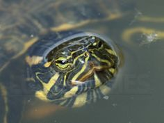 Red-eared Slider Turtle surfaces at Butterfly World, BC