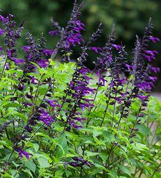 Buy Salvia 'Amistad'   Perennial Sage   Sarah Raven Beautiful Gardens, Beautiful Flowers, West Facing Garden, Purple Garden, Shade Garden, Flower Landscape, Desert Island, Back Gardens, Gardens
